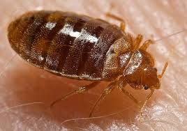 Bed Bug resized 600