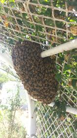 Bee_Swarm.jpeg